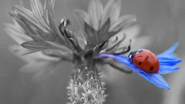Angelobung FPÖ verzichtet auf Kornblume - Foto pixabay