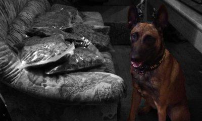 Polizeidiensthund erschnüffelt Suchtmittel - LPD Wien